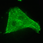 Live cell image